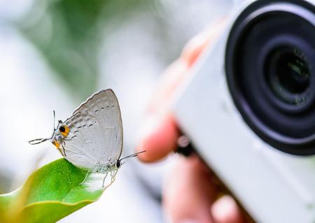 taking photo of Peacock Royal(Tajuria cippus cippus) with Compact Camera