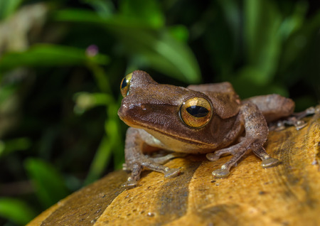 Golden tree frog(Polypedates leucomystax), a normal frog in Thailand