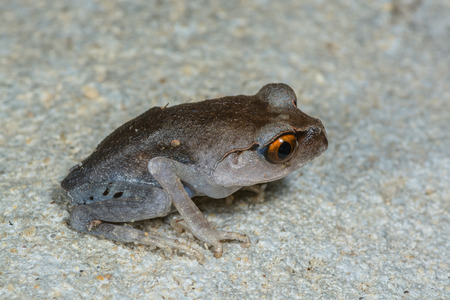 amphibia: Spotted Litter Frog(Leptobrachium hendricksoni Taylor), beautiful frog in Thalaban National park, Thailand Stock Photo
