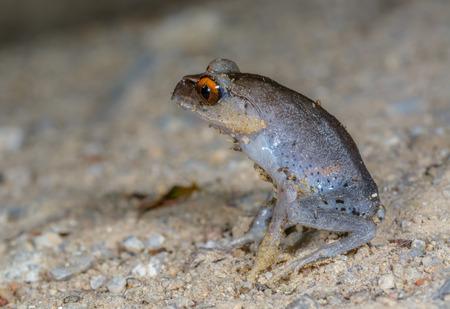 amphibia: Spotted Litter Frog(Leptobrachium hendricksoni Taylor), beautiful frog in Thalaban National park, Thailand Stock Photo
