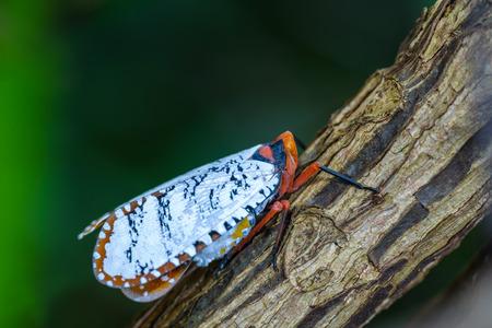 cf: aphaena cf discolor, A colorful Cicada on branch, Northeastern Thailand Stock Photo