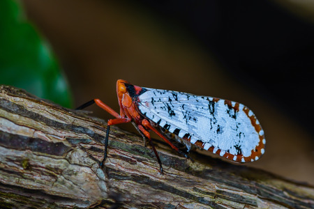 northeastern: aphaena cf discolor, A colorful Cicada on branch, Northeastern Thailand Stock Photo