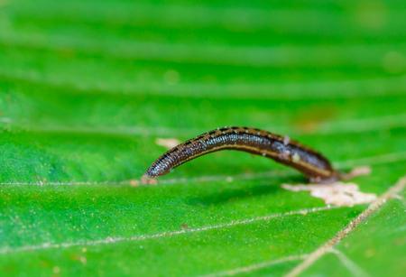 leech: Tierra de la sanguijuela (sanguijuela de montaña) en las hojas en el bosque lluvioso