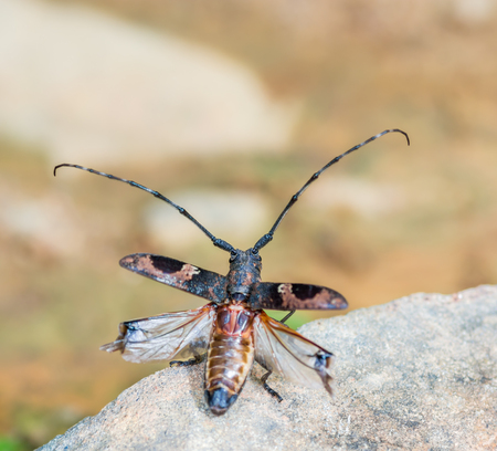 hexapoda: Long-horned Beetles(Cerambycidae), beautiful insect in deep forest,Thailand