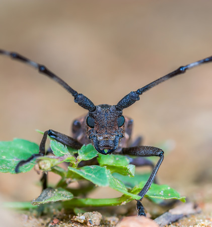 longhorned: Long-horned Beetles(Cerambycidae), beautiful insect in deep forest,Thailand