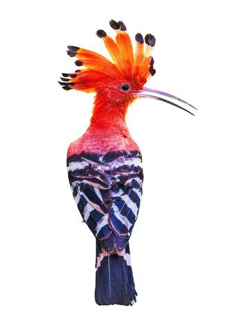 animalia: Beautiful bird isolated on white background