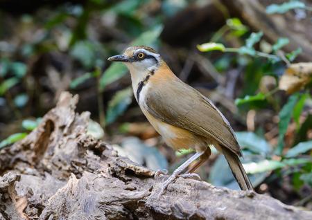 garrulax: Lesser Necklaced Laughingthrush(Garrulax monileger), beautiful brown bird in kaeng kra chan national park,Thailand Stock Photo