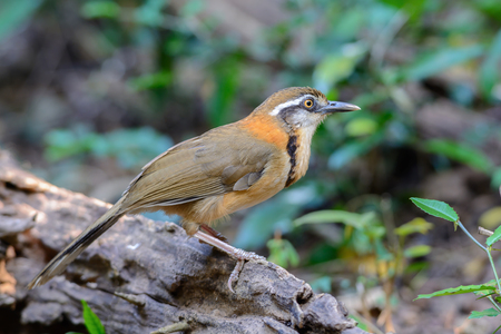 Lesser Necklaced Laughingthrush(Garrulax monileger), beautiful brown bird in kaeng kra chan national park,Thailand Stock Photo