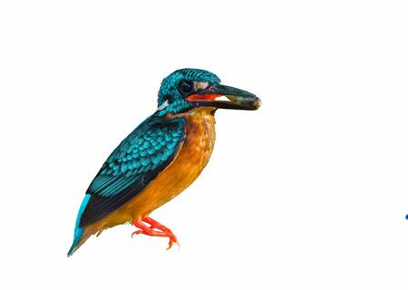 pollitos: aislado hermosa ave transportar pescado en la boca para alimentar a sus polluelos Foto de archivo