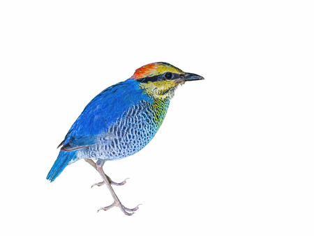 kaeng: Blue Pitta(Pitta cyanea,female), beautiful bird isolated on white background,kaeng kra chan national park, Thailand Stock Photo