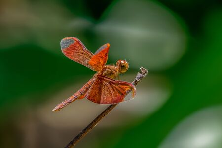 Neurothemis fulvia, a beautiful dragonfly on branch