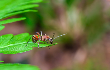 spiny: Large spiny ant, beautiful ant in nature at Khao yai national park,Thailand