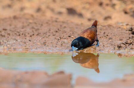 Black-headed Munia or Chestnut Munia(Lonchura atricapilla) is thirsty