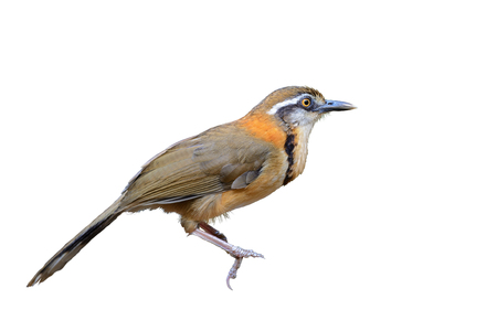 garrulax: Lesser Necklaced Laughingthrush (Lesser Necklaced Laughingthrush), beautiful brown bird isolated with white background at kaeng kra chan national park,Thailand