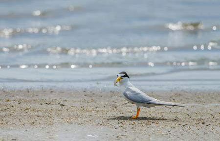 작은 제비 갈매기 또는 Sternula albifrons, 계절을 먹이로하는 동안 모래에 자신의 병아리를 지키고 아름다운 새들 스톡 콘텐츠