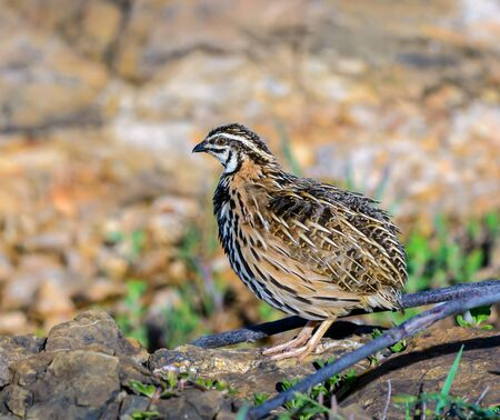 Rain Quail(Coturnix coromandelica), beautiful bird standing on stone, male
