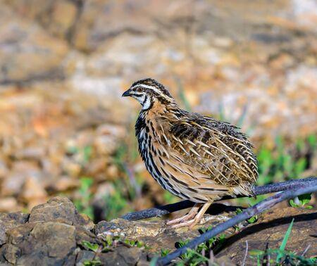 Rain Quail(Coturnix coromandelica), beautiful bird standing on stone, male