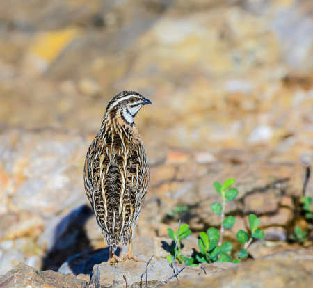 quail: Codorniz lluvia (Coturnix coromandelica), de pie hermosa ave en piedra, de sexo masculino