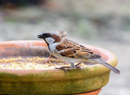 passer by: House Sparrow or English Sparrow or Indian Sparrow (Passer domesticus), beautiful brown bird in garden,Thailand.