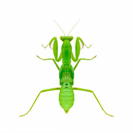 mantis: Green mantis isolated with white background,Praying Mantis.