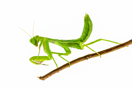 Green mantis isolated with white background,Praying Mantis.