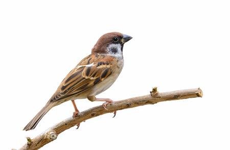 Eurasian Tree Sparrow(Passer montanus),Beautiful bird isolated on white background