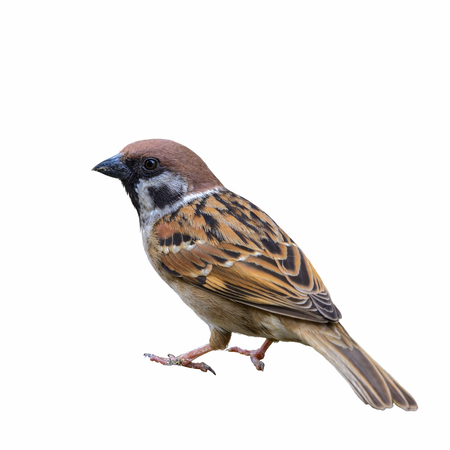 Eurasian Tree Sparrow(Passer montanus),Beautiful bird isolated on white background