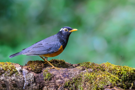 Black-breasted Thrush(Turdus dissimilis), A beautiful bird standing on timber at Doi Ang Khang, Thailand.