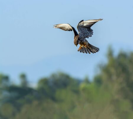 falconidae: Amur Falcon(Falco amurensis), beautiful bird flying with blue sky.