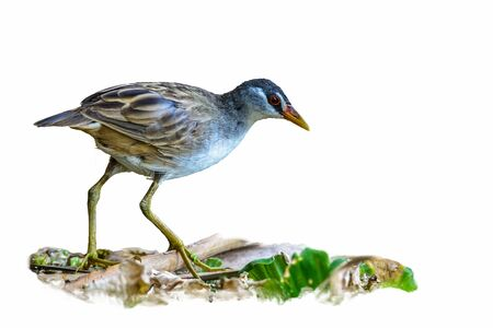cinerea: White-browed Crake(Porzana cinerea), Beautiful bird isolated with white background.