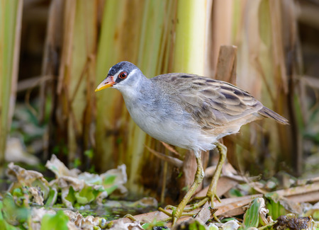 cinerea: White-browed Crake(Porzana cinerea), Beautiful bird on the prowl for food, Thailand. Stock Photo