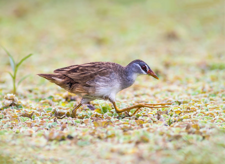 White-browed Crake(Porzana cinerea), Beautiful bird on the prowl for food, Thailand. Stock Photo