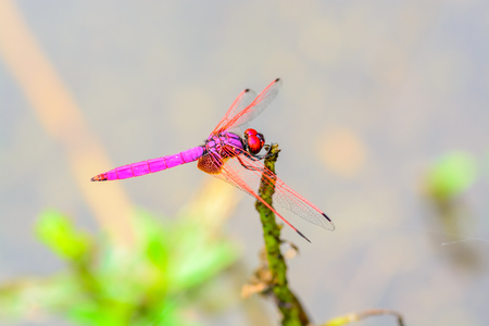 Crimson dropwing, beautiful dragonfly on branch with water background.