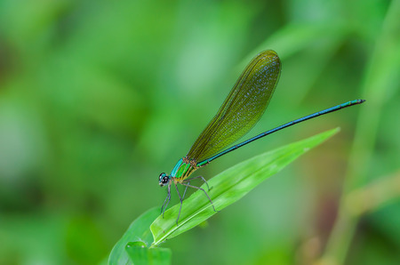 Beautiful dragonfly on leaves with green background. Stock Photo