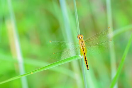 Globe Skimmer(Pantala flavescens), beautiful dragonfly with green background. Stock Photo