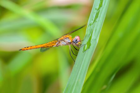 Globe Skimmer(Pantala flavescens), beautiful dragonfly on leaves with green background.