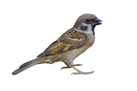 Eurasian tree sparrow(passer montanus), beautiful bird isolated standing with white background.
