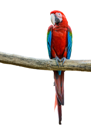 Scarlet macaw, beautiful bird isolated with white background.