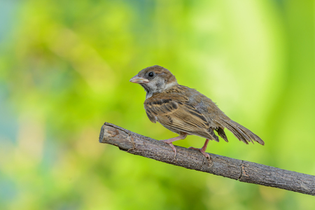 Eurasian tree sparrow(passer montanus), baby bird on branch with green background. Stock Photo