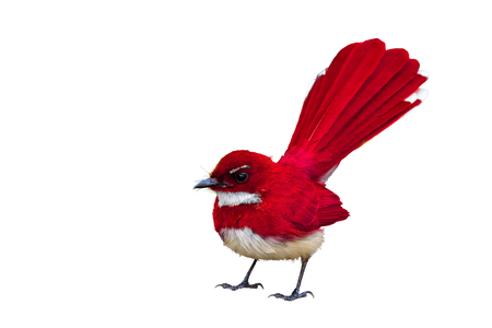 pied: Colorful bird isolated standing with white background, red bird.