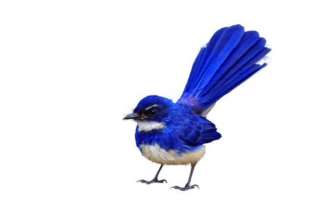 pied: Colorful bird isolated standing with white background, blue bird. Stock Photo