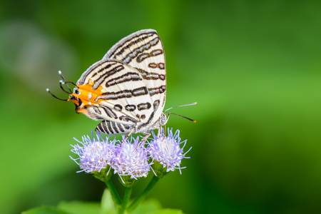 silverline: Club Silverline(Spindasis syama), beautiful butterfly on purple flower with green background.