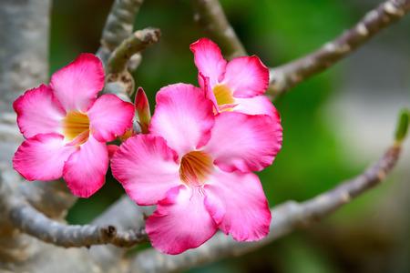 Impala Lily or Desert Rose or Mock Azalea, beautiful pink flower in garden. Stock Photo