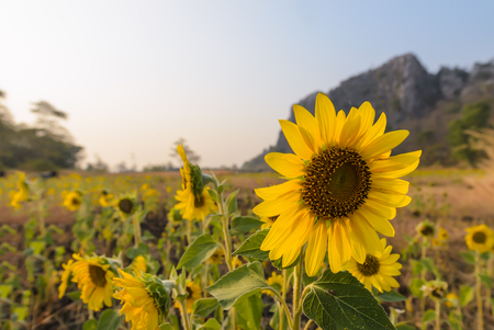 helianthus: Sunflower, beautiful flower in field with mountain background. Stock Photo