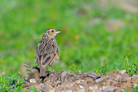 Indochinese Bushlark or Mirafra erythrocephala, beautiful bird standing on ground.