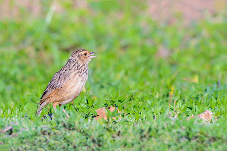 Indochinese Bushlark or Mirafra erythrocephala, beautiful bird standing on ground.