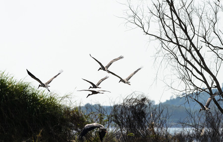 anastomus: Asian Openbill or Anastomus oscitans, group of beautiful birds are flying in the sky. Stock Photo