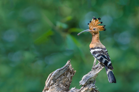 Common Hoopoe or Upupa epops, beautiful bird was eating a bug with green background.