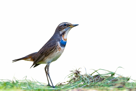 the pampas: Bluethroat or Luscinia svecica, beautiful bird isolated standing in meadow with white  background. Stock Photo