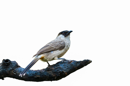 white headed: Sooty-headed bulbul or Pycnonotus aurigaster, beautiful bird isolated on branch with white background.